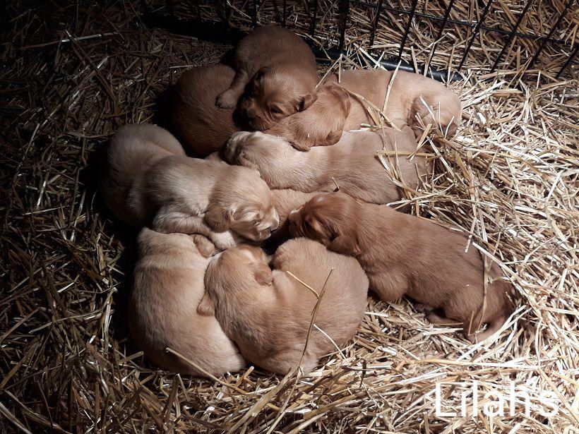 AKC Golden Retriever Puppies image 1