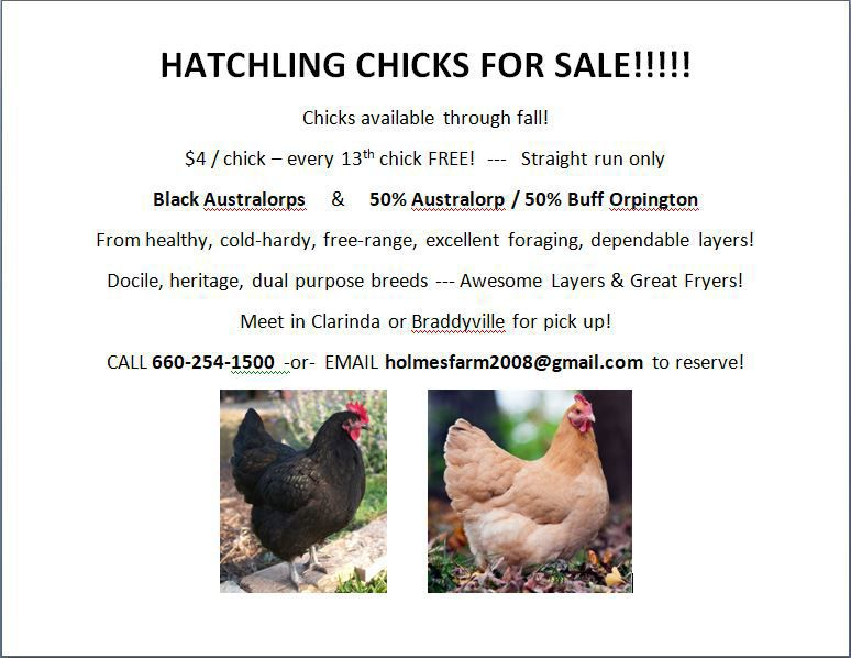 Hatchling Chicks Available! image 1