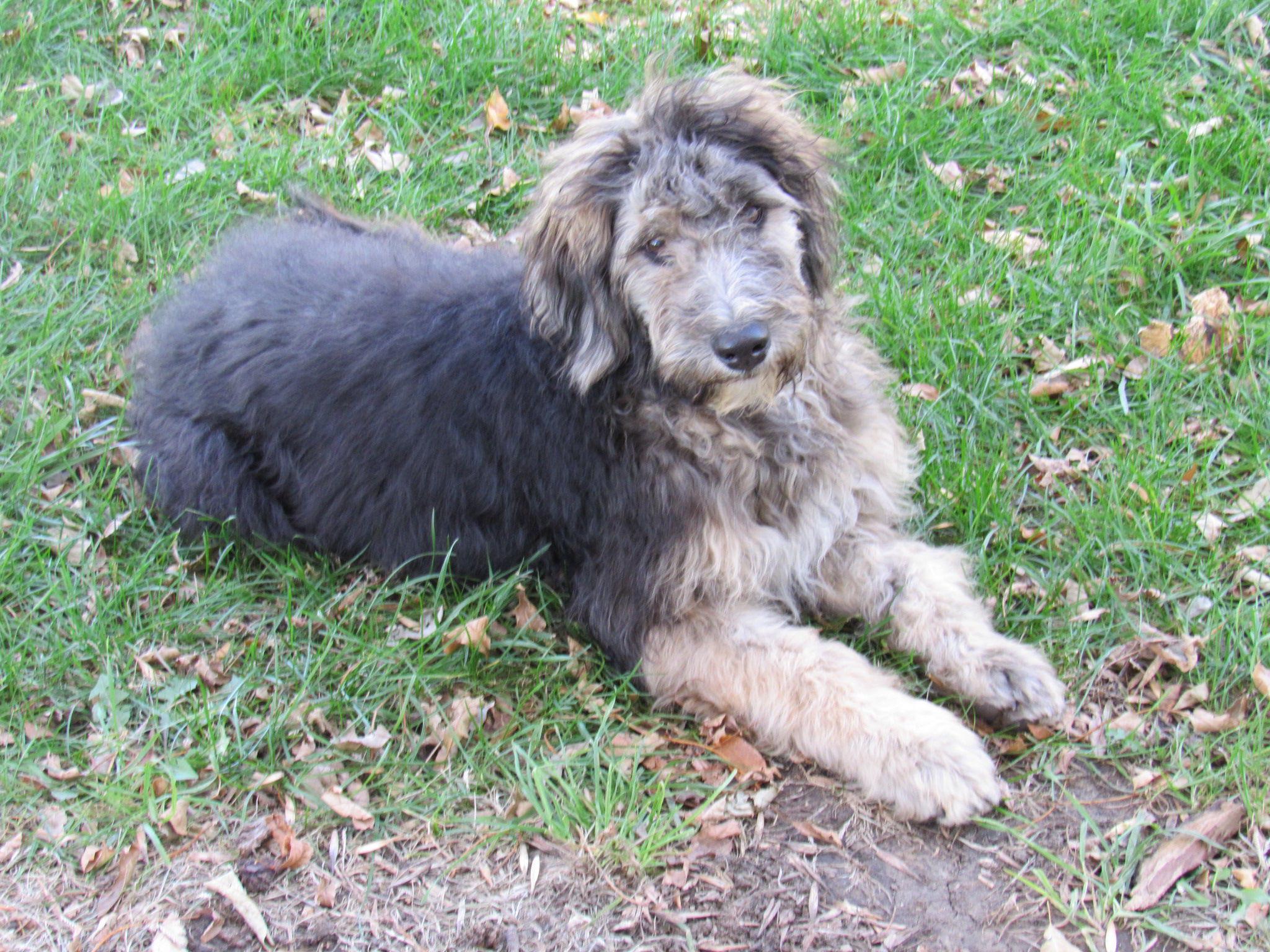 Aussiedoodle Pups image 1