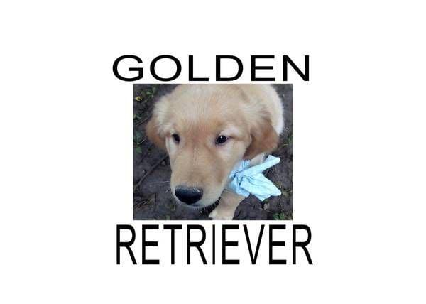 golden retriever pups engish cream image 1