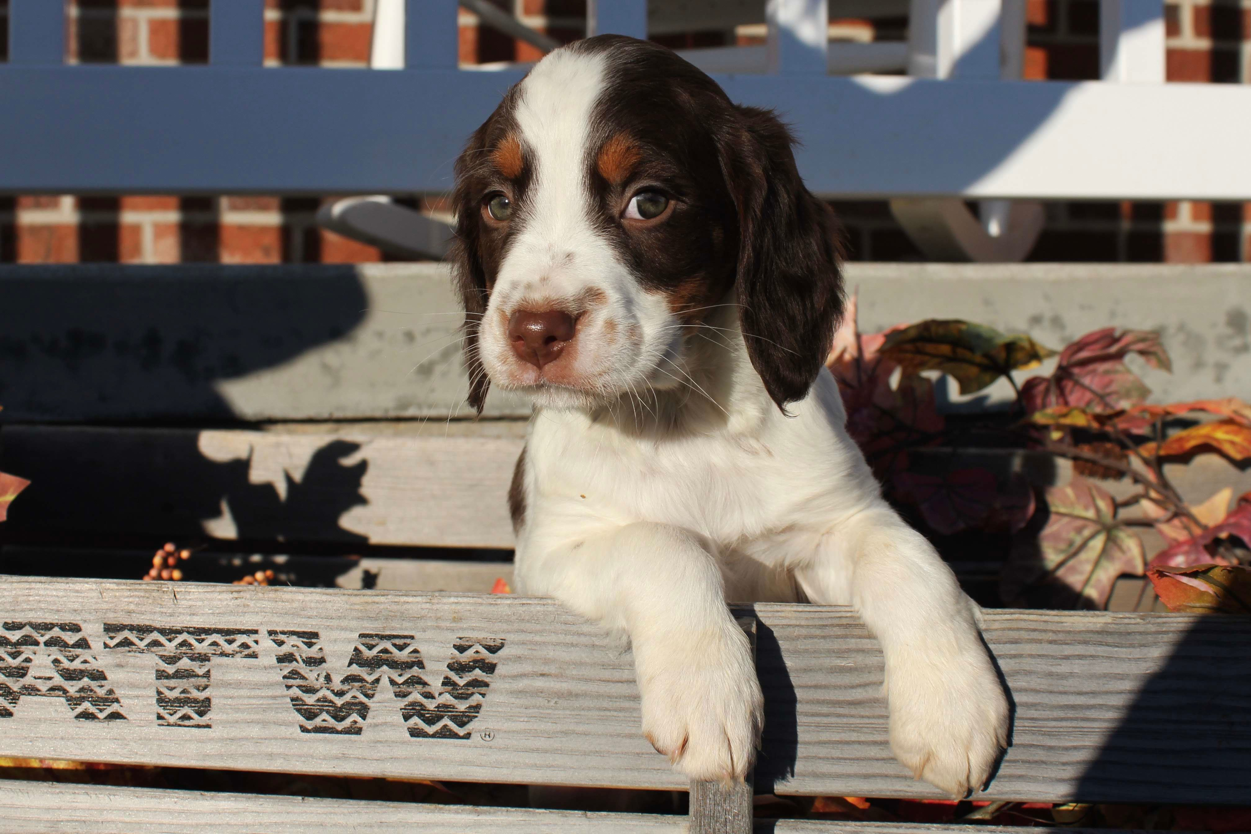 Brittany Pups image 1
