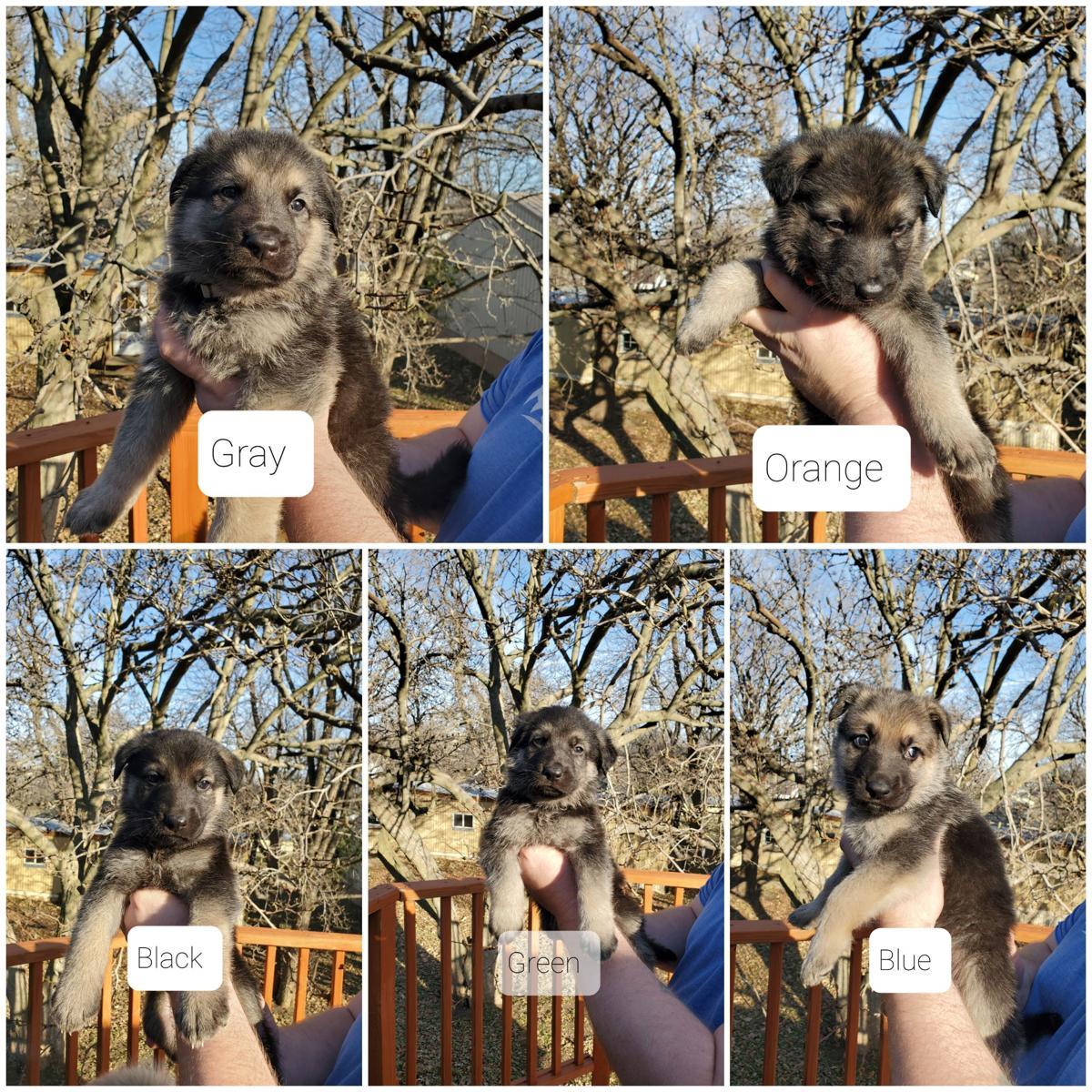 German Shephered Puppies image 1