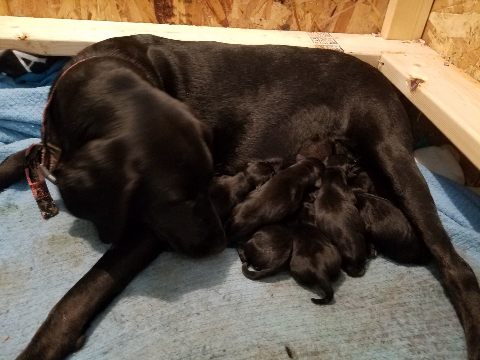 Pure bred lab puppies image 1