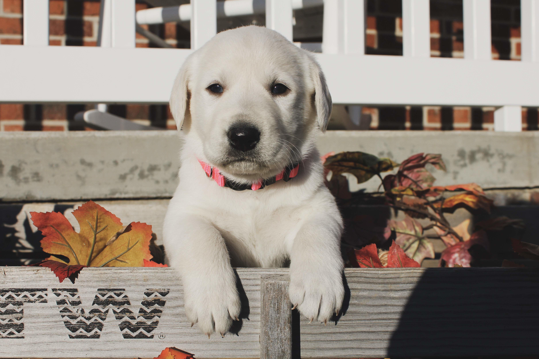 Lab Pups image 1