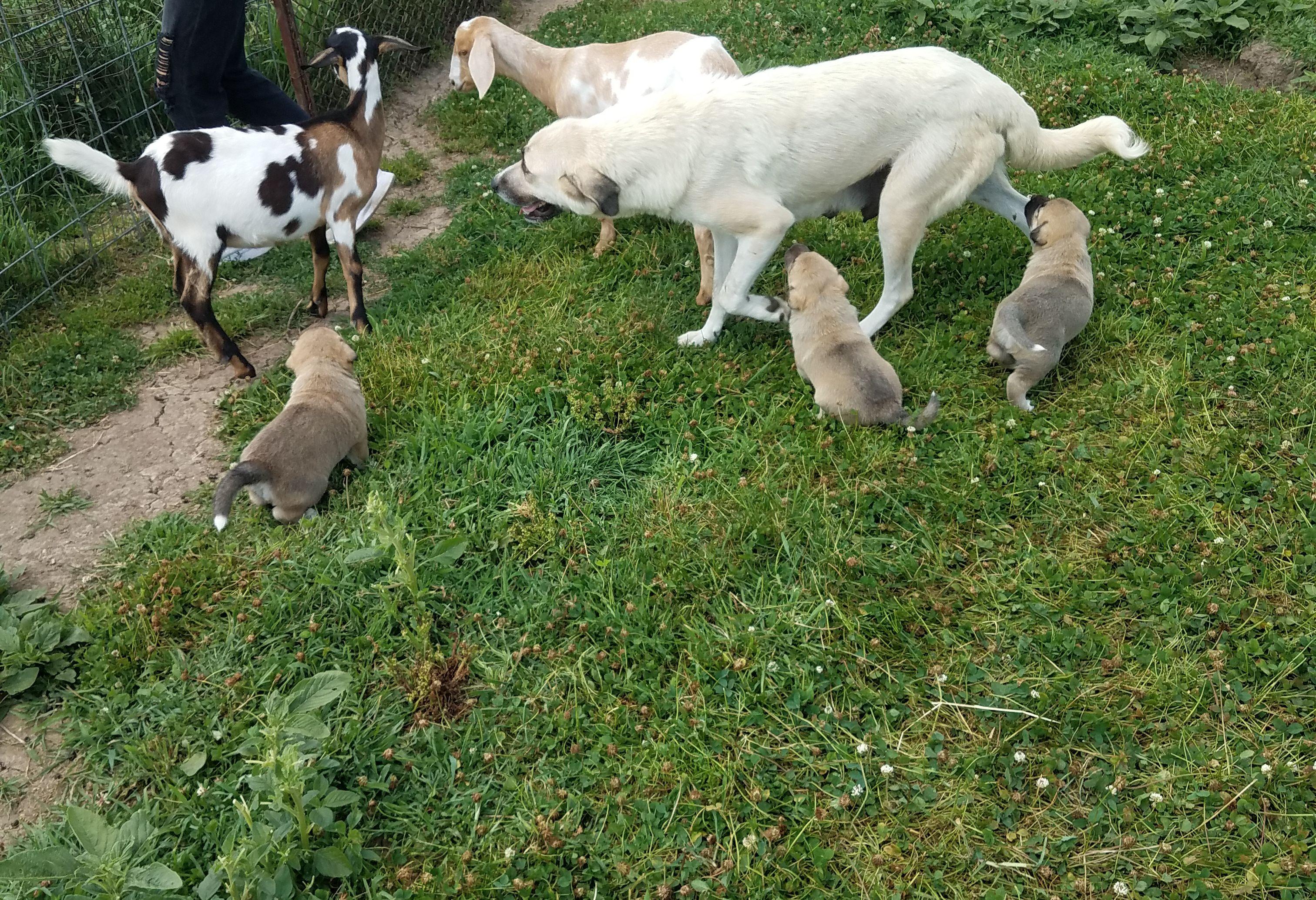 Anatolian Shepherd puppies image 1
