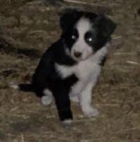Border collie puppies image 1