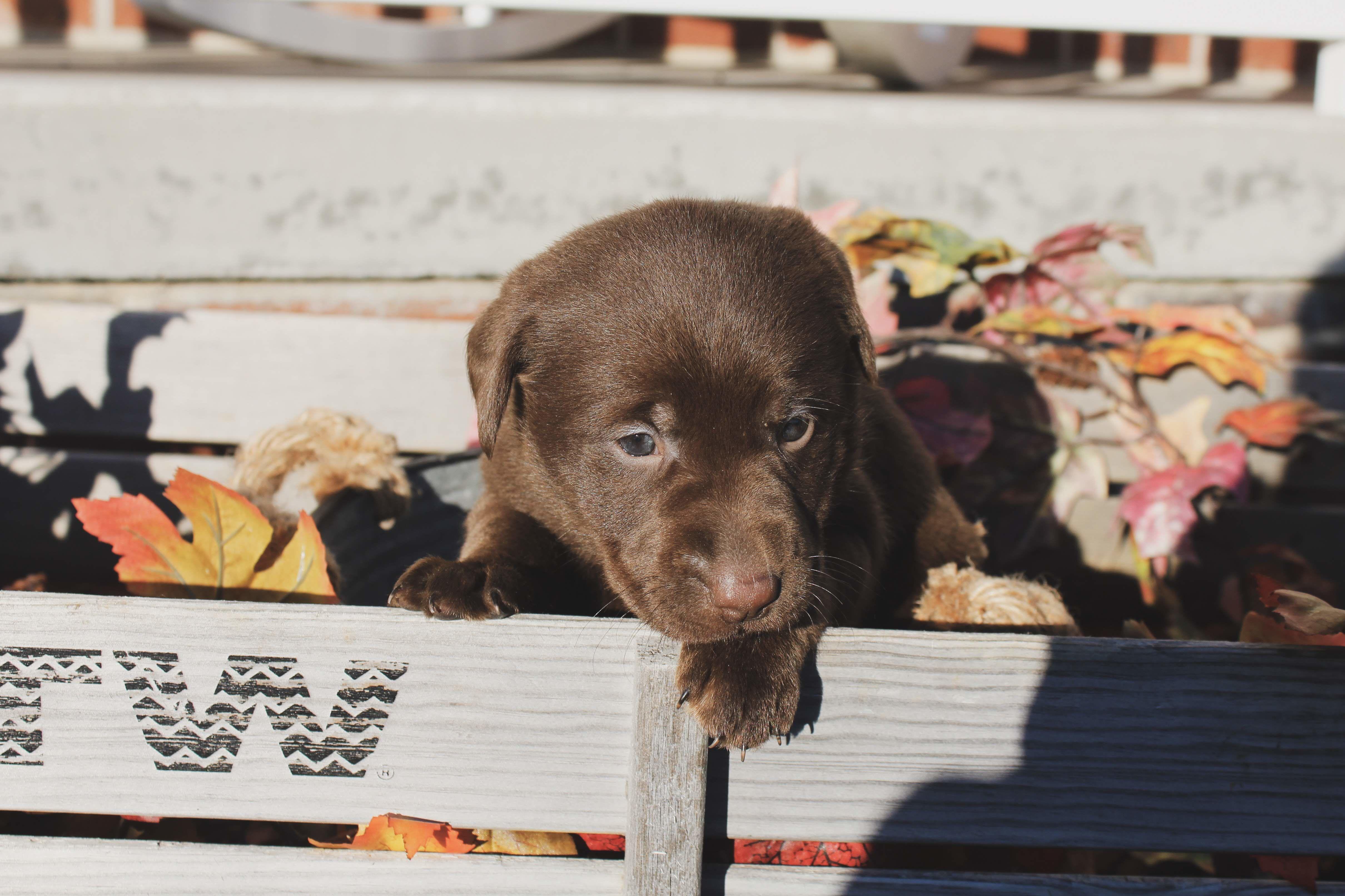 Black and Chocolate Lab Pups image 1