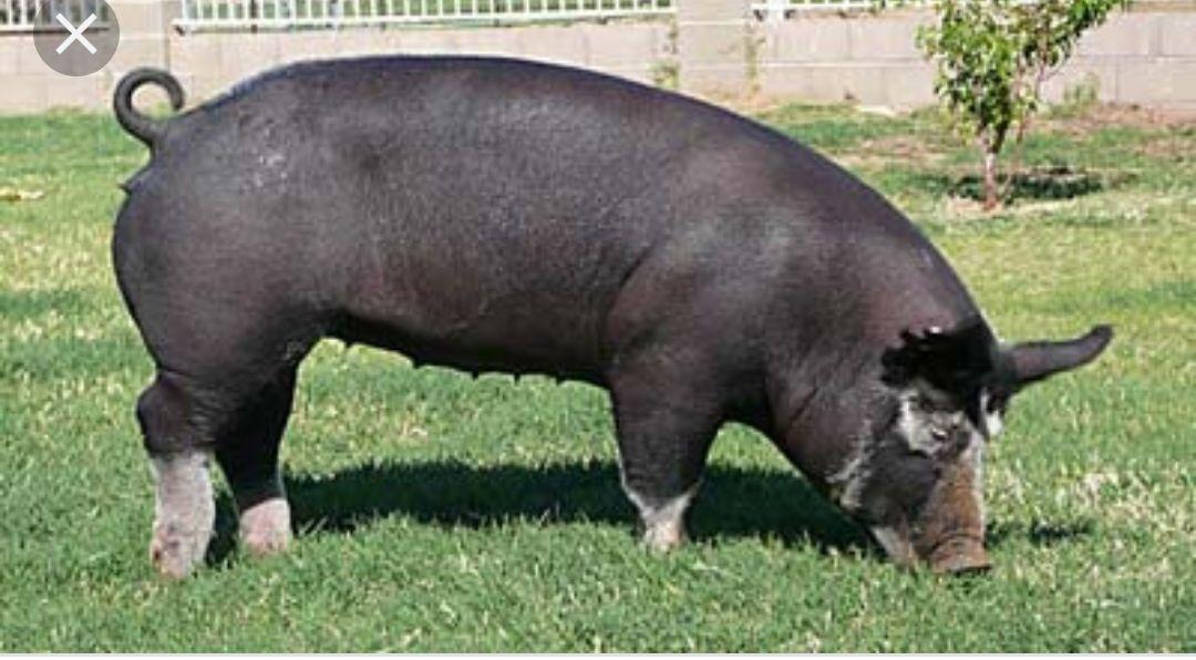 Butcher Hogs for sale image 1