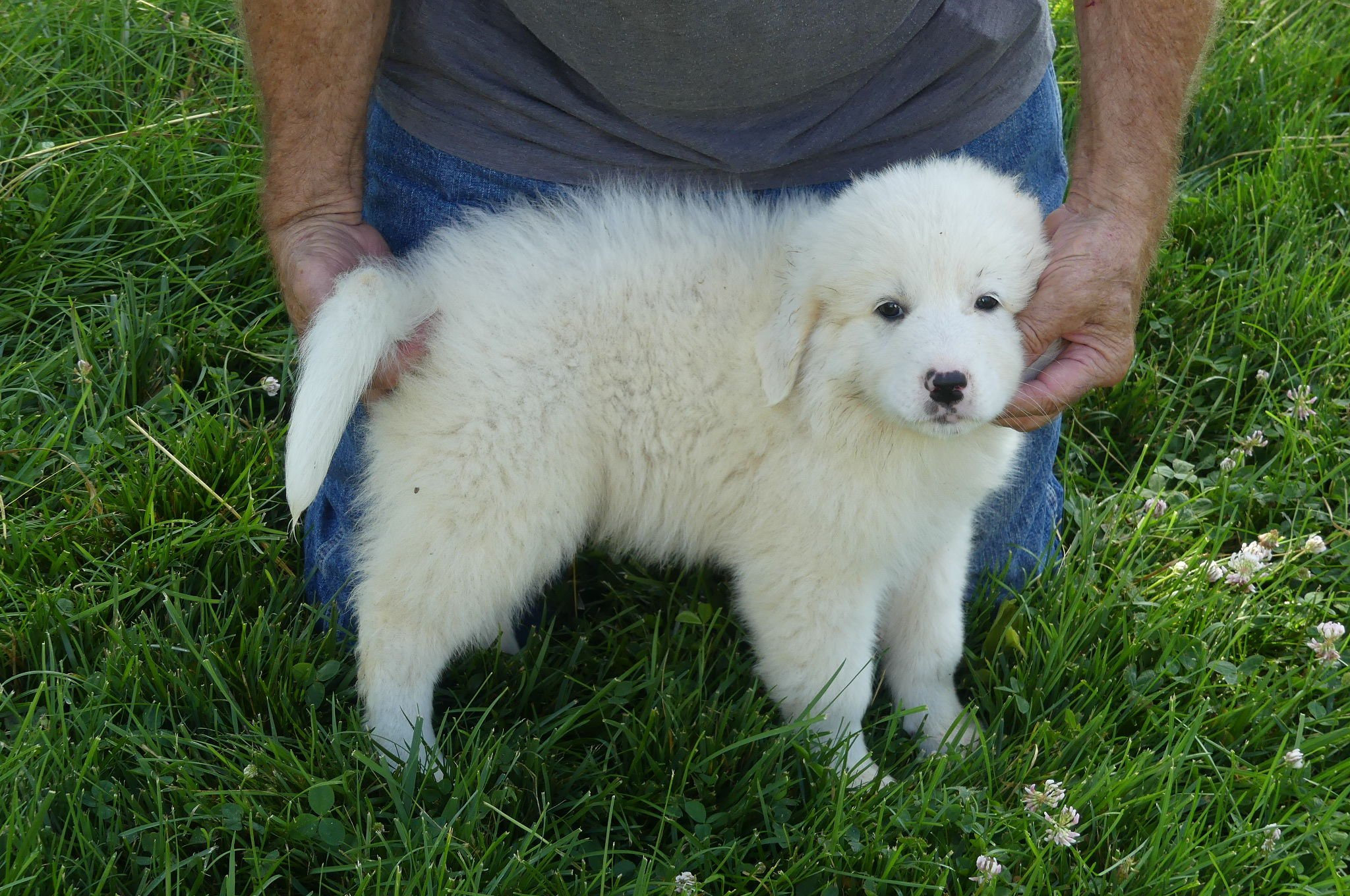 Fuzzy  Guardian Dog/Collie Mix Pups For Sale image 1