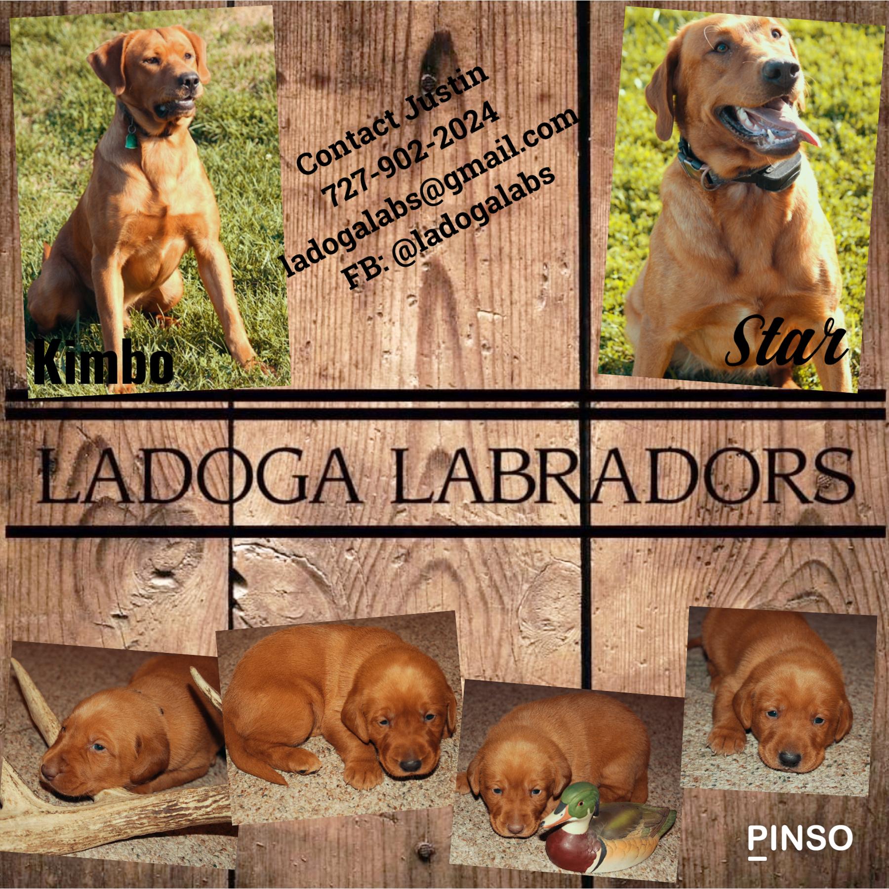Red Labradors image 1
