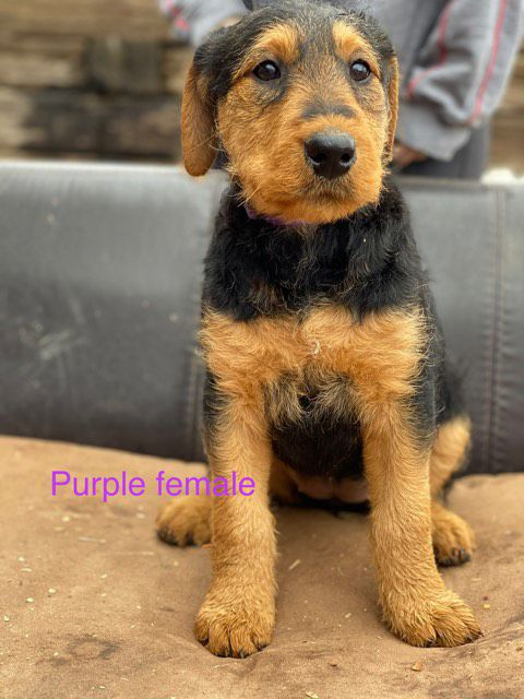 4 female akc airedale puppies image 1
