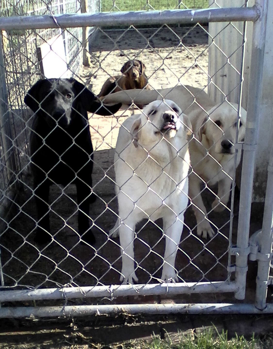 3 AKC Labs For Sale image 1