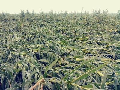 Derecho damaged crops