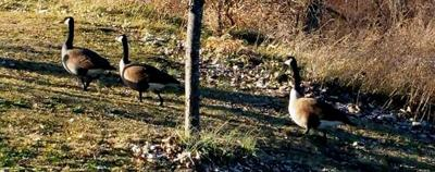 Controlled goose hunt approved for Ariel Foundation Park