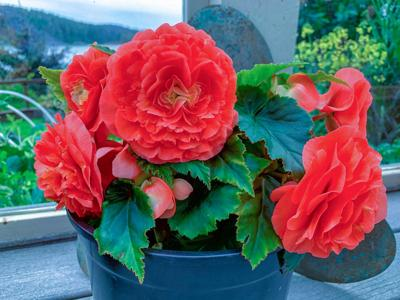 Gardening in troubled times and how to overwinter begonias