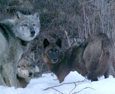 Riley wolf pack