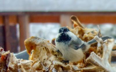 A chickadee's midwinter roosting place
