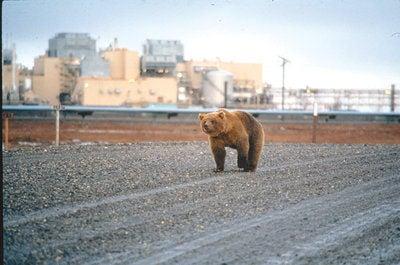 bear den 1