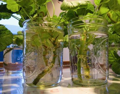 Single geranium plant