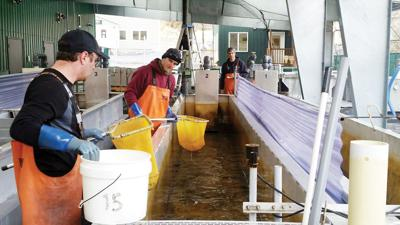 Kodiak aquaculture association forgoes primary source of income