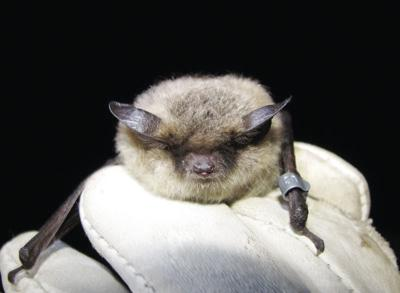Little brown bats remain a northern mystery