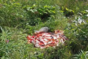 Fish waste invites bears, fines