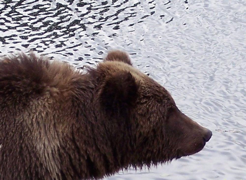 Bear Chronicles 2015