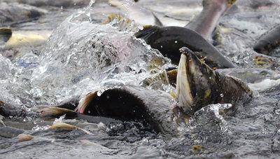 Buskin River silver salmon await the rain
