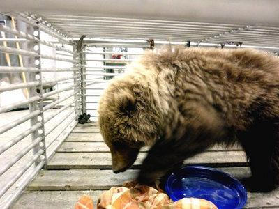 Two Kodiak bear cubs may get new life in Sweden