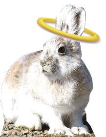 halo hare