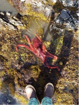Intertidal octopus