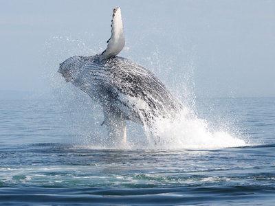 For Kodiak biologists, a whale of a summer job