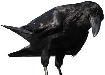 Raven word of the week