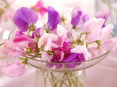 With winter not yet over, give sweet peas a go