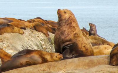 Steller sea lions and mercury