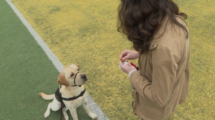 Retrieving Freedom service dog in training