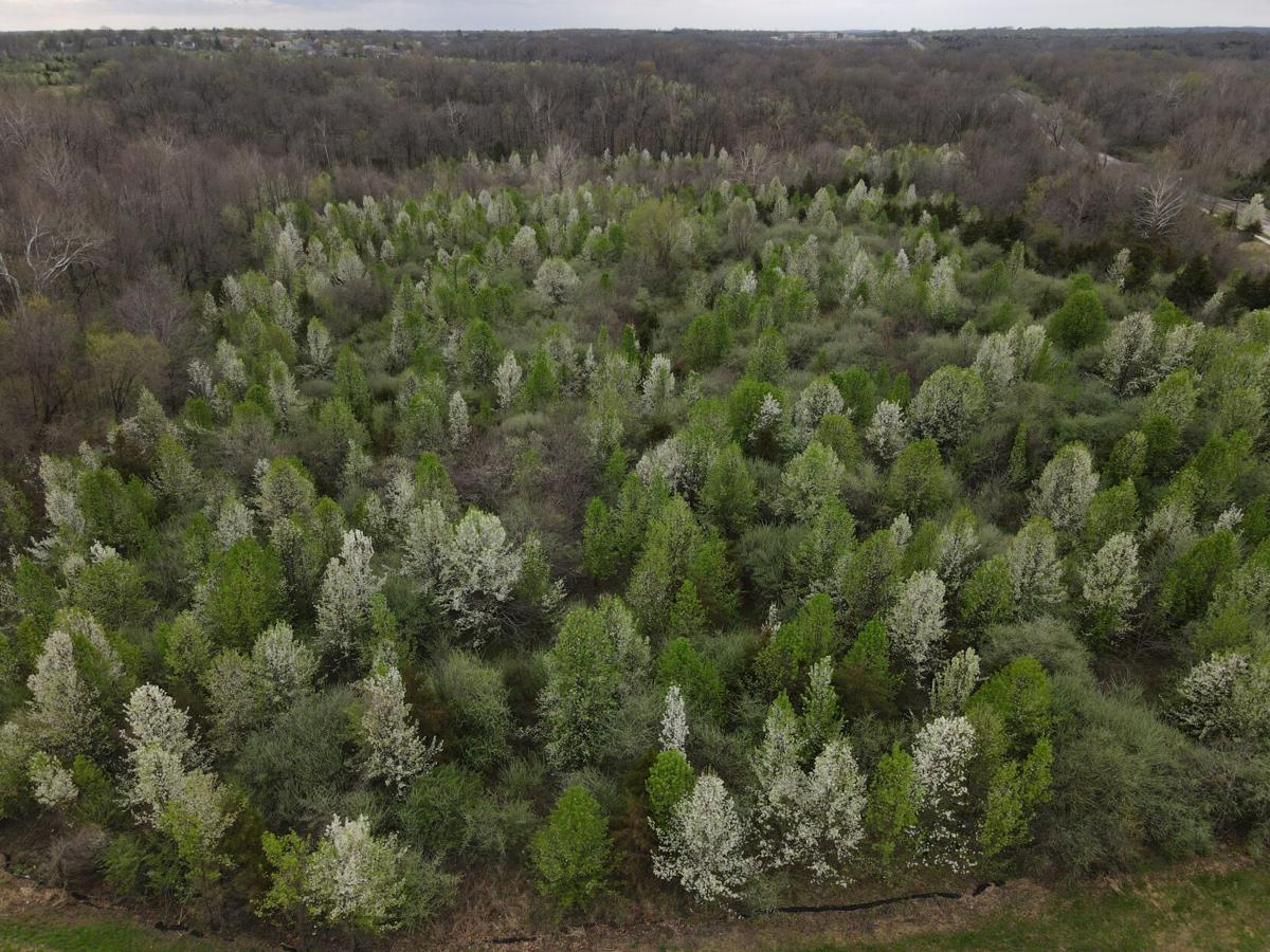 Forest of invasive pear trees.