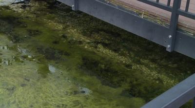 Algae in the lake at Stephens Lake Park