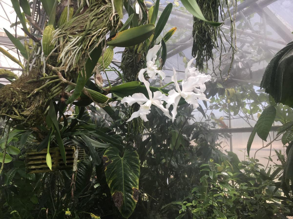 Huntington orchids