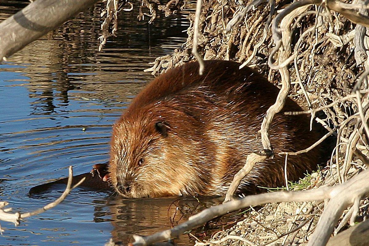 Our furry new neighbor is a beaver
