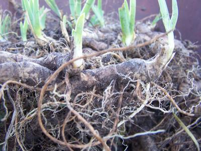 Root clump