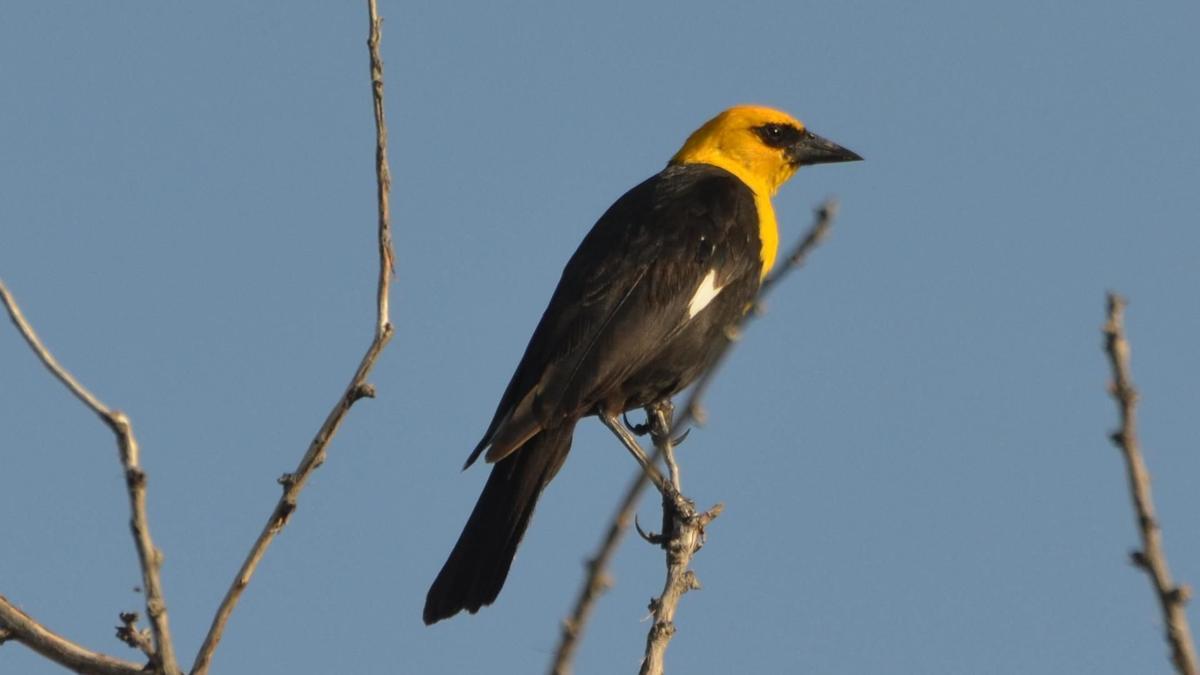 Yellow blackbird