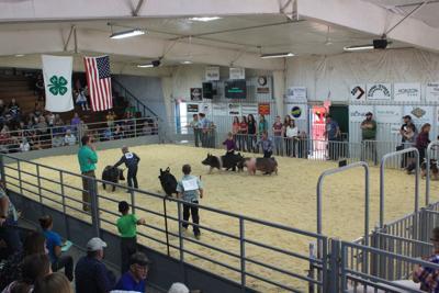 Swine judging at the fair