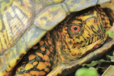 Threatened box turtles are a gift of pure delight