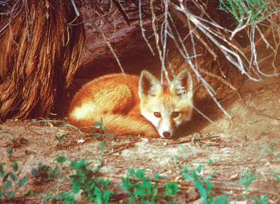 Columnist recounts the shared story of a red fox and a crow