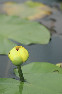 Ponder the lily pad