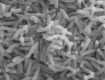 Vibrio cholerae bacteria