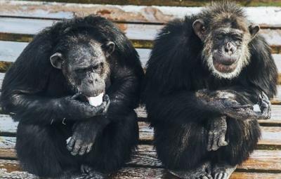 chimps.PNG