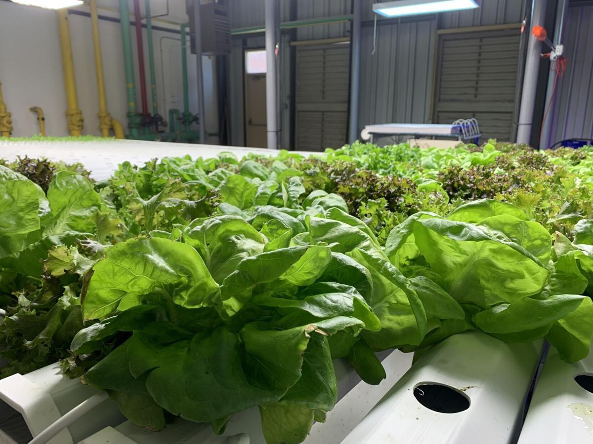 Fully grown lettuce