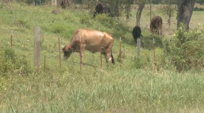 Dierks Cattle.JPG